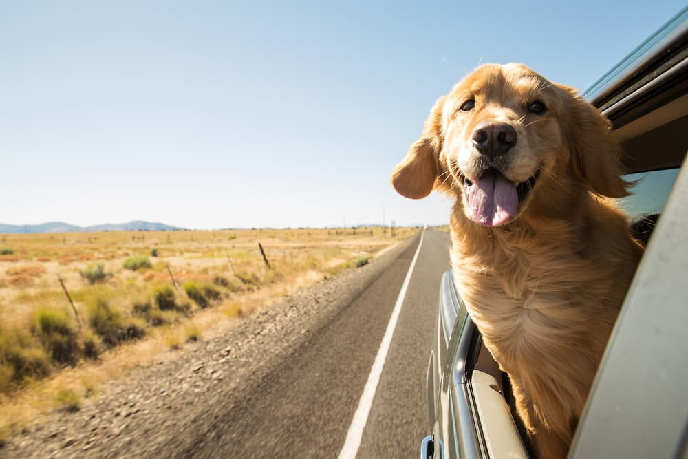 Travel the UK with your pets: Happy dog leaning out of car window