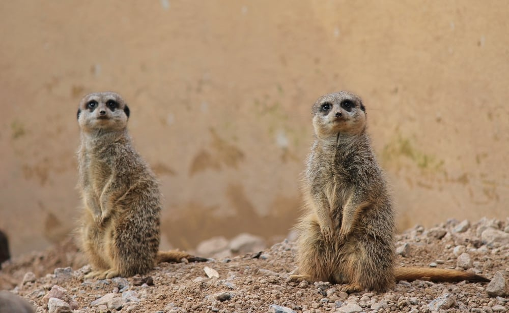 5 things to do with the grandchildren this Easter: Merrkats at London Zoo