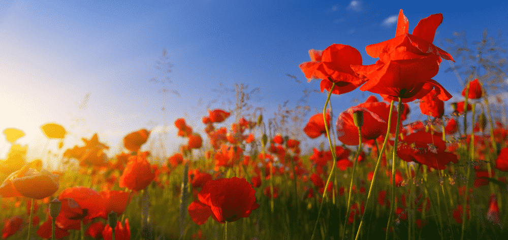 Where you can mark the End of World War I in its Centenary year: poppy field at sunrise